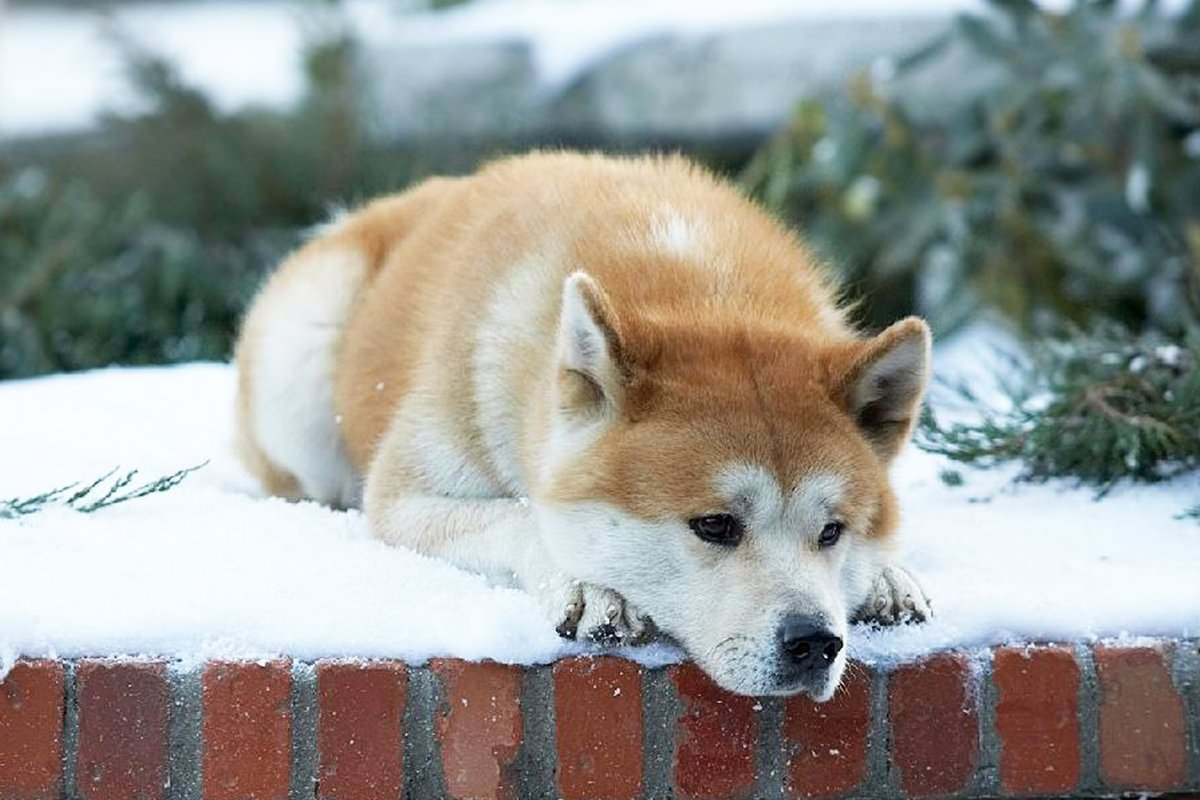 [REVIEW]  Hachi: A Dog's Tale - When love is without words |  News, Showtimes